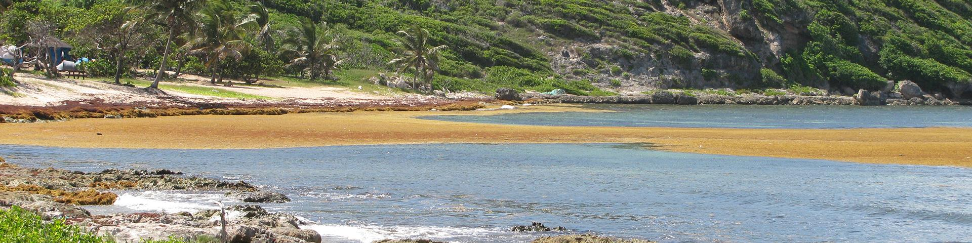 Arrival of the Sargassum, Guadeloupe