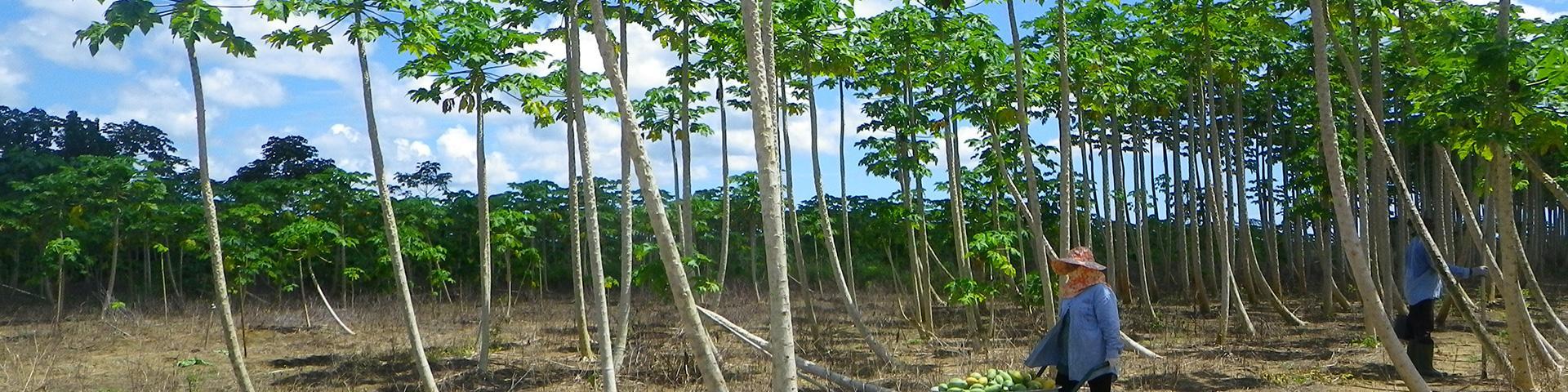 Culture de la papaye, Guyane